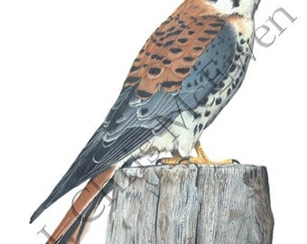 American Kestrel (Male) Drawing