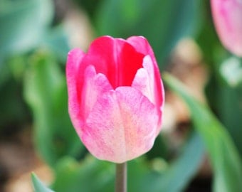 Home Decor photograph Tulip of Kansas