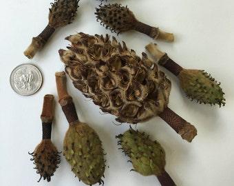 10 Magnolia Seed Pods