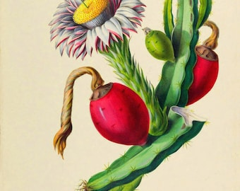 antique french botanical print nopal cactus prickly pear illustration digital download