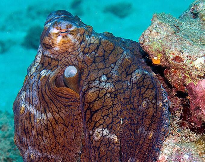 Octopus Art ~ Octopus Print ~ Underwater Photograph of Octopus