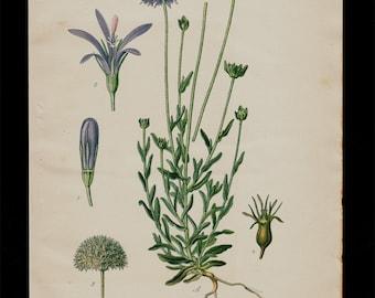 1896 Botanical Antique print, flower print, lovely chromolithograph of a Centaurea Montana