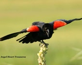 """5x7 Nature Inspired Photo Greeting Card or Print--Happy Birthday--#120--""""Spread Your Wings and Fly"""" Male Red Winged Black Bird"""