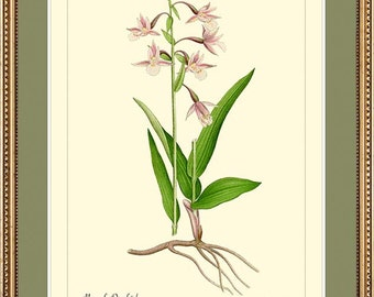 MARSH ORCHID - Botanical print reproduction - 413