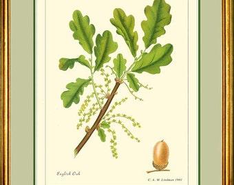 ENGLISH OAK - Vintage Botanical print reproduction 368