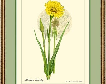 MEADOW SALSIFY - Vintage Botanical print reproduction - 39