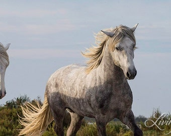 Two Grey Camargue Horses Run - Fine Art Horse Photograph - Horses - Camargue - Black and White