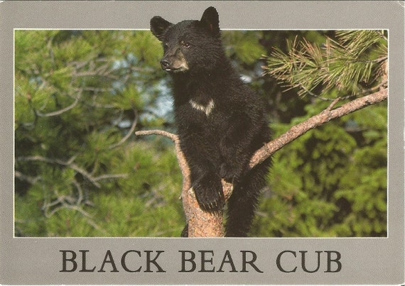 Black Bear Cup Pentley Southwest Photo by Pouis M. Kis 1980's Vintage Postcard