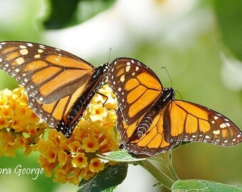 Two Monarch Butterflies  Photography, Wildlife photo, garden photography, Monarch Butterfly, Yellow