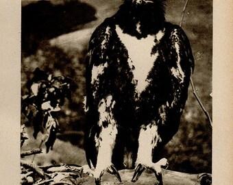 Vintage 1911 GOLDEN EAGLE print Antique photogravure print, animal print, b/w bookplate art print, nature wall print, wall art