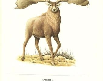 1970 Vintage Irish elk poster vintage animal art Giant elk poster vintage mammal poster Elk art Megaloceros giganteus  art Elk gift