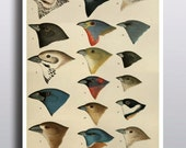 Antique Bird Illustration Print Poster Scientific Chart Bird Illustration Bird Art Animals Birds Artwork Wall Decor Wall Art Print
