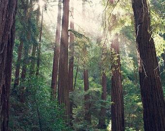 Redwood Tree Photography, Bohemian Print, California Print, Muir Woods art, Travel, Woodland, Forest, Poster Size Print, San Francisco