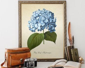 Botanical Print Blue Big Leaf Hydrangea Flower Print Home Decor Antique Natural History Hydrangea Print Reproduction FL030