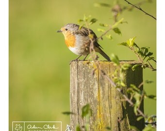 Robin perching on a fence. British wildlife bird watching nature photographic print.
