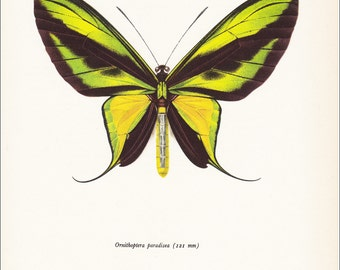 vintage butterfly insect art print yellow green colourful Tailed Paradise Birdwing Ornithoptera paradisea Australia home decor 8x10 inches