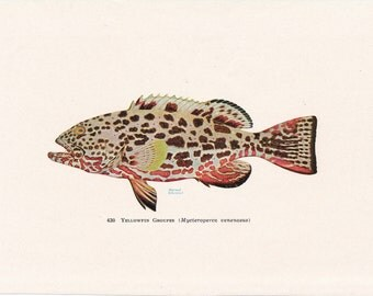 1953 Grouper, Tropical Fish Vintage Print