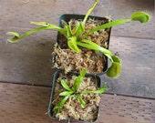 Small starter plant Venus Fly Trap Carnivorous Plant - Dionaea m.