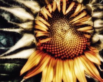Fine Art Photography, Sunflower, Nature, Flower, Wall Art, Photo Print, Bucks County, Pennsylvania