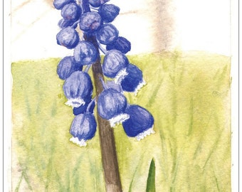 Grape Hyacinth - 5x7 Watercolor Print