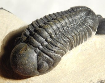 THREE Trilobite Fossils! TWO SPECIES 2 Paralejurus and Phacops Morocco 1045gr