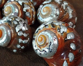 African Turbo Shells (Sold Individually)