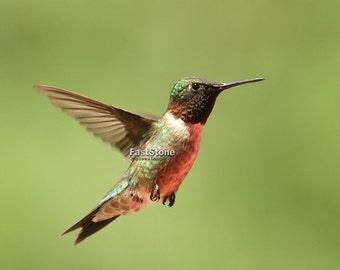 Hummingbird, photo, print, bird photography, nature photography, Missouri, wildlife photography, wall art, home decor, free shipping, shop