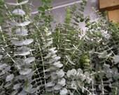 Fresh Baby Eucalyptus, Fresh Flowers, Fresh Eucalyptus, Fresh Greens, Aroma Therapy, Shower Eucalyptus, Baby Blue Eucalyptus, Green Euc