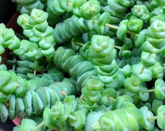 Crassula Hottentot - Cutting 5-8 cm (unrooted)