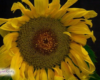 Yellow Sunflower - spring garden photography