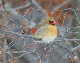 Female Cardinal fluffed up