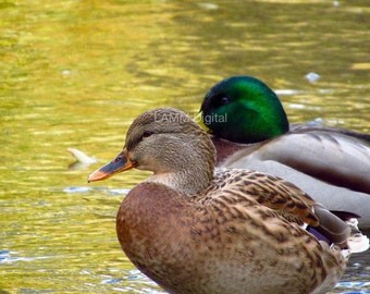 Digital Ducks Photography, Photo Download, graphics for web use, 2 ducks on the lake
