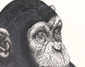 The Chimp graphite drawing Limited Edition Print- Wildlife Series #3 -  fine art