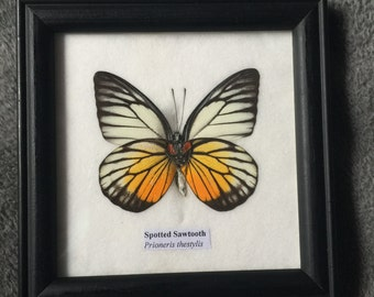 Real Mounted and Framed Spotted Sawtooth Butterfly