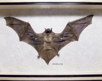 Real exotic Big bat Hairless Specimen in frame taxidermy insect bug for gift