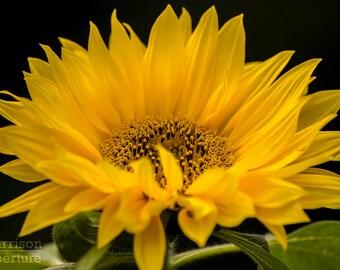 Sunflower Print Colour Flower Photography Wall Art