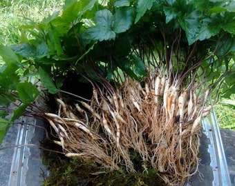 10 Ginseng Rootlets. 2 year old Wild simulated.