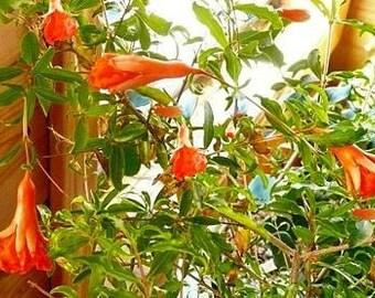 Dwarf Pomegranate Live Plant
