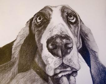 The Basset Hound