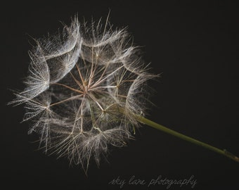Dandelion | Photography Print | Choose Any Size