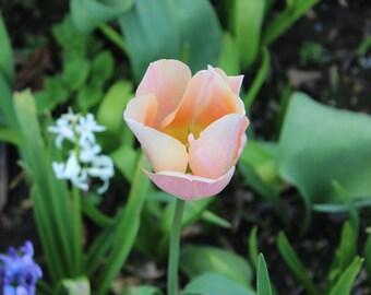 Peach Tulip Print