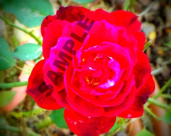 Red Red Rose photograph
