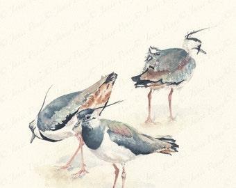 Three Lapwings