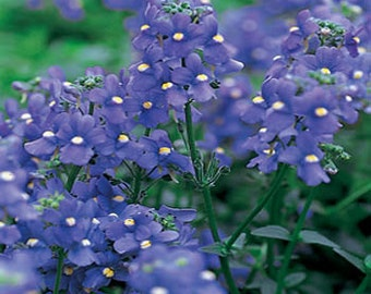 Blue Gem Nemesia Flower Seeds/Strumosa/Annual  50+