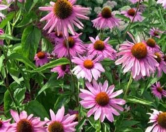 Purple Echinacea Coneflower Flower Seeds/Perennial  40+