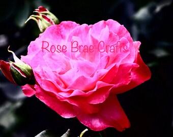 Rose, Sunshine Coast, BC, Nature Photography