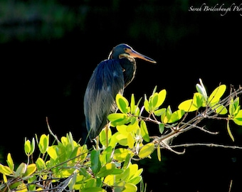 Little Blue Heron - FREE SHIPPING US