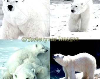 POLAR BEARS Photos - Digital Images Collage Sheets - Instant Download - 3 PNG Files 4x4 - 2x2 - 1x1