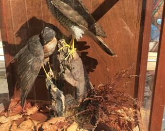 Pair of cased vintage taxidermy sparrowhawks