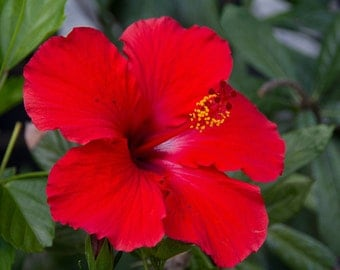 Hibiscus plant, powder care, washing